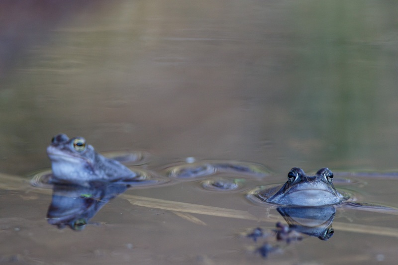 Gras Frogs