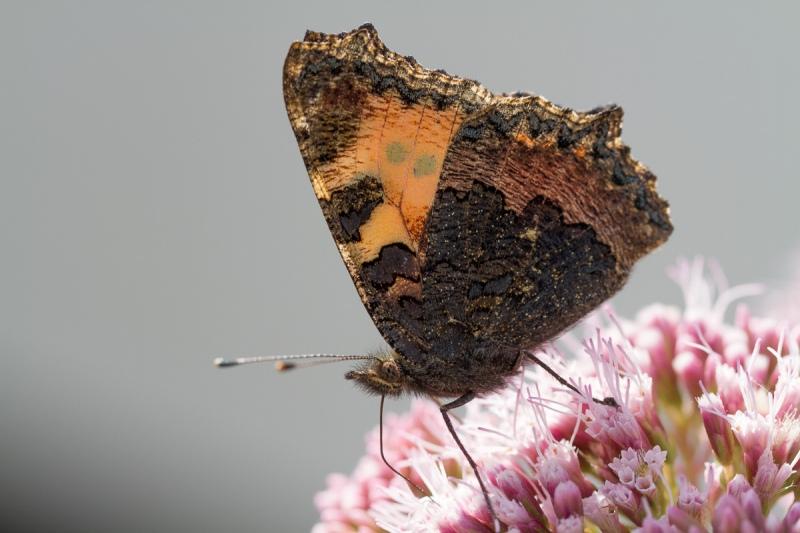 Kleiner Fuschs - Aglais urticae