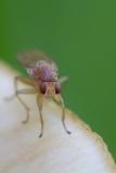 Faulfliege - Meiosimyza rorida
