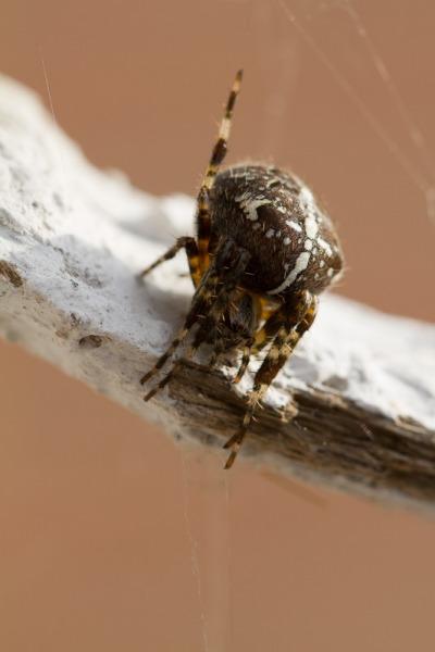 Gartenkreuzspinne - Araneus diadematus