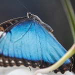Blauer Morphofalter (C) - Morpho peleides