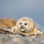 Gray Seals 2013