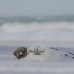 Gray Seals 2014