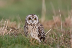 Short-Eared Owl- Asio flammeus