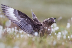Great Skua (Runde / Norway)