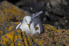 Black Legged Kittiwake (Runde / Norway)