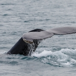 Iceland 2011 - Humpback Whale