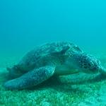 Grüne Schildkröte - Chelonia mydas