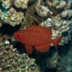 Riff-Großaugenbarsch - Priacanthus hamrur