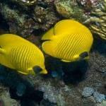 Maskenfalterfisch - Chaetodon semilavatus