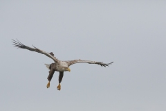 White Tailed Eagle (Aalfred)