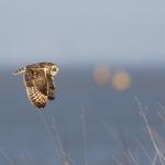 Short-Eared Owl- Asio flammeus