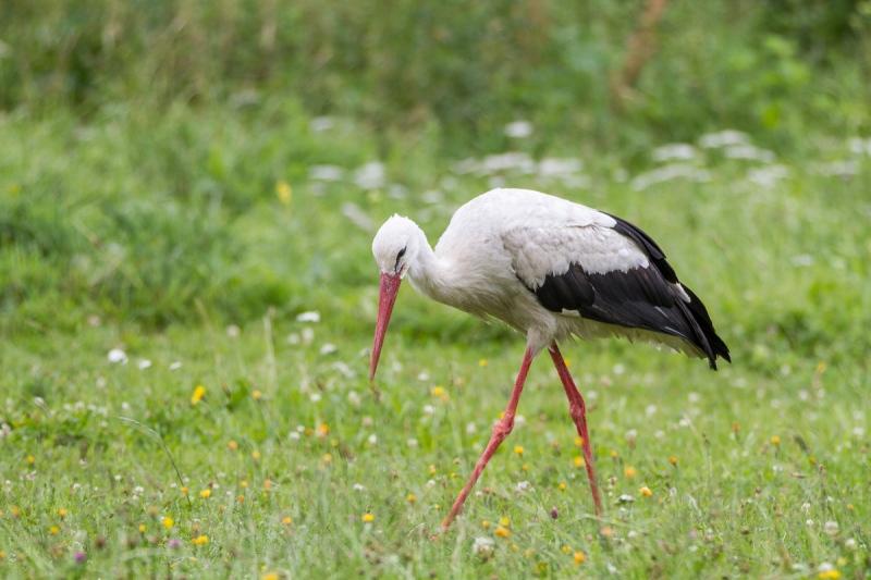 Weißstorch (Polen)
